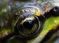 Het oog van een kikker