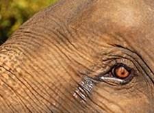Het oog van een olifant