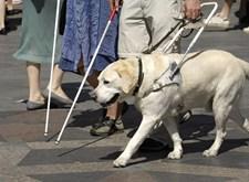 Blindengeleidehond in actie