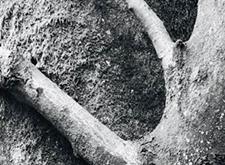 Jonge beuk die pal tegen een ouder exemplaar aan groeit en hem bijna omhelst (zwart-wit)