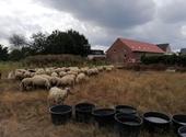 Kudde schapen op het terrein van Licht en Liefde in Veltem